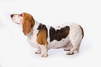 basset hound on a white background