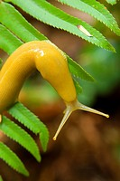 Banana slug on sword fern along Prairie Creek Trail, Prairie Creek Redwoods State Park, Redwood National Park, California
