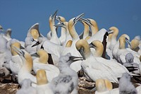 Canada, Quebec Province, Gaspesie, National Park of Bonaventure Island and Perce Rock, youth and adult gannet Sula bassana within the colony