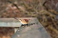 Sparrow Tree Passer montanus