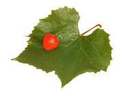 Leaf of grape with berry of the strawberries on white background