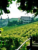 Vineyard terraces in the Lavaux UNESCO World Heritage region, Vaud, Switzerland, Europe