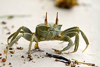Image of a Ghost Crab Ocypode Cerathopthalma at La Digue Island, Seychelles  Please note that the poor guy has only one claw, the other one lost proba...
