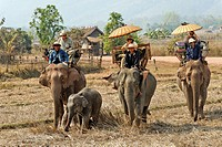 Laos, Sayabouri Province, Hongsa, trek on elephant´s back with a baby elephant and its mother in the middle of rice fields, cruise on board palanquins...