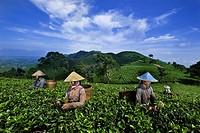 Indonesia, Java, East Java Province, Kemuning village, Kumpunsari tea plantation, worker Ngatmi, Tantri and Karni