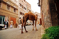 Yemen, Sanaa, old town listed as World Heritage by UNESCO, people walking on street with camel