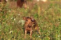 France, Bas Rhin, Wild Boar Sus scrofa