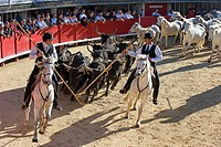 France, Herault, Lunel, Demonstration of handling wild bulls and horses by the gardians, local cowboys, of the Renaud Vinuesa ranch, in the bullring