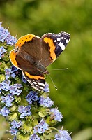 Butterfly Red Admiral (Vanessa atalanta, fam. Nymphalidae) on plant of Echium sp. (fam. Boraginaceae), Turo del Putget park, Barcelona, Catalonia, Spa...