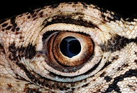 Close_up view of the eye of the Perentie Varanus giganteus, the largest monitor lizard native to Australia.
