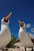 Masked or Nazca Booby Sula dactylatra courtship. Genovesa Tower Island, Galapagos Islands, Ecuador.