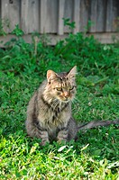 Maine Coon cat in field.