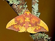 Male Imperial Moth Eacles imperialis A moderately large member of the silk moth family that ranges from Southern Canada to the Gulf of Mexico, from Te...