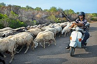 Sheeps, Arbatax, Ogliastra Province, Sardinia, Italy.