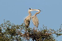 Great blue herons Ardea herodias courting in nest in NW Florida.