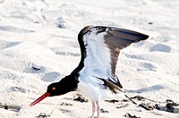 American oystercatcher Haematopodidae palliatus stretching its wings on Baltra Island in the Galapagos Islands in Ecuador.