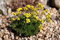 Yellow Whitlowgrass Draba aizoides, garden plant, Bavaria, Germany, Europe