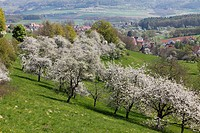 Cherry trees in blossom, Roedlas, municipality of Neunkirchen am Brand, Franconian Switzerland, Upper Franconia, Franconia, Bavaria, Germany, Europe