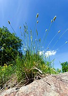 Flowering grass, Sedges Cyperaceae against blue sky