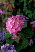 Hydrangea, a popular garden flower.