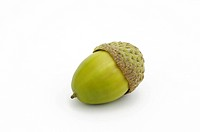 An acorn from chestnut oak, Quercus prinus syn. Quercus montana