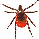 Illustration of a blacklegged tick Ixodes scapularis.