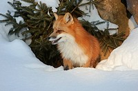 Red fox Vulpes vulpes in mid_winter snow, Minnesota. This is the most widely distributed wild carnivore in the world. These foxes were imported to New...
