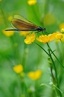 Broad-winged damselfly (Calopterygidae) on twinflowered marsh marigold (Caltha)