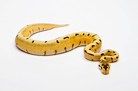 Tiger Spider Ball Python or Royal Python (Python regius), female