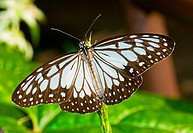 Blue Tiger Butterfly Tirumala limniace, a butterfly found in India. This species is a member of the Danaid group of the Brush_footed butterflies famil...