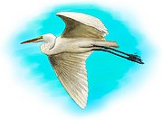 Illustration of a Great Egret Ardea alba in flight
