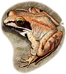 Illustration of a Wood Frog Rana sylvatica