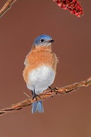 Eastern Bluebird, Sialia sialis. Adult male. Eastern Bluebirds live in meadows and openings surrounded by trees that offer suitable nest holes. Februa...