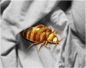 Color enhanced bedbug Cimex lectularius illustration. Bed bugs are not vectors in nature of any known human disease. The common bed bug is found world...