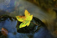 Autumn leaf on a rock in a stream