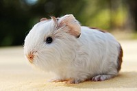 Young guinea pig, Swiss Teddy breed, white-gold coloured