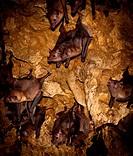 Geoffroy´s hairy_legged bat, aka Geoffroy´s tailless bat, Anoura geoffroyi roosting in Trinidadian cave.