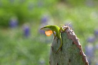 Male Carolina anole displaying dewlap during courtship perched on prickly pear cactus amid bluebonnet flowers.