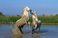 France, Bouches du Rhone, Parc Naturel Regional de Camargue Natural Regional Park of Camargue, listed as a Reserve de Biosphere by UNESCO, Saintes Mar...