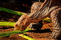 Saddleback Giant Land Tortoise Eating, Galapagos Islands