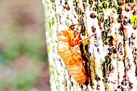 Insect cicada molt on tree