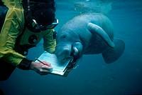 Marine biologist Barbara Bernier with manatee Trichechus sp., Homosassa Springs Wildlife State Park, Florida.