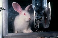 Laboratory rabbit in cage.