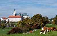Cattle on a pasture near Neresheim Monastery, Ostalbkreis, Baden-Wuerttemberg, Germany, Europe