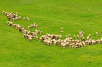 Herd of Lacaune dairy sheep, Roquefort region, France, Europe