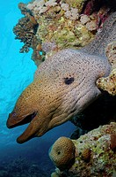 Giant moray (Gymnothorax javanicus), Red Sea, Egypt, Africa