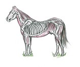 An illustration of the skeletal structure of a horse.