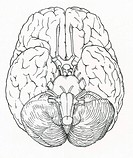 Anatomical illustration of brain, showing normal inferior view of brain stem and the twelve pairs of cranial nerves sensory and motor or both: olfacto...