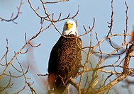 A bald eagle looks perched in a tree looks right into the camera.
