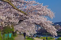 People walking along a path beside the Kamogawa river under the cherry blossoms